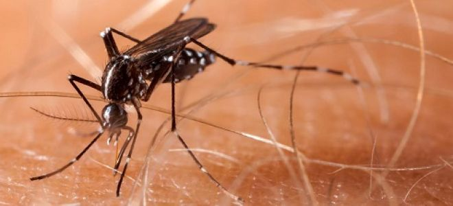 Где распространена лихорадка Денге и как лечится