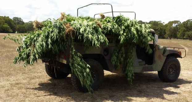 марихуана растет